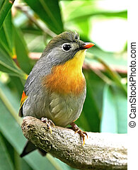 Red-billed Leiothrix (Leiothrix lutea) - Red-billed...