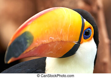 Toco Toucan (Ramphastos toco) - Closeup of the beautiful and...