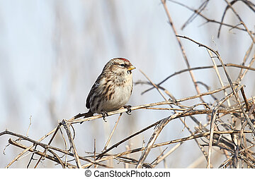 Common Redpoll Carduelis flammea - Common Redpoll resting in...