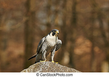 Gyrfalcon (falco rusticolus) - Gyrfalcon in its natural...