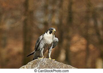 Gyrfalcon (falco rusticolus) - Gyrfalcon in its natural...