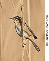 Sedge Warbler (Acrocephalus schoenobaenus) - Sedge Warbler...