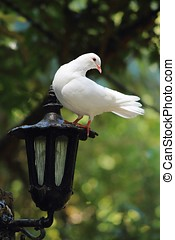 White Dove perches on Lantern - A close up of a White Dove...