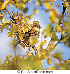 Sparrow bird Passer P. domesticus detailed closeup, autumn...