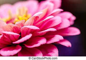 Zinnia buds and flowers - Close up side view of a pink...