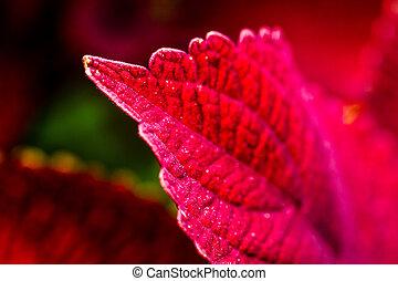Red Coleus Plants in Garden