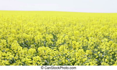 field of oilseed rape in the day