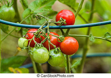 Red and green cherry tomatoes in the garden with metal...