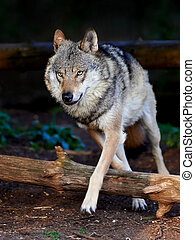 Grey Wolf Canis lupus - Grey Wolf running in its natural...