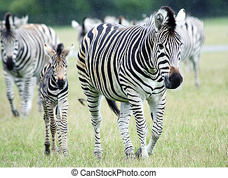 Plains Zebra Equus burchelli chapmani - Plains Zebras...