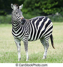 Plains Zebra (Equus burchelli chapmani) - Plains Zebra...