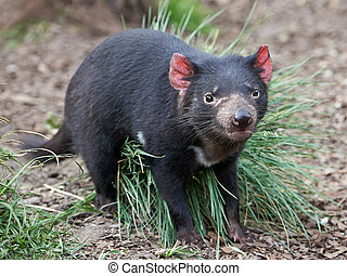 Tasmanian Devil (Sarcopilus Harrisii) - Tasmanian Devil...
