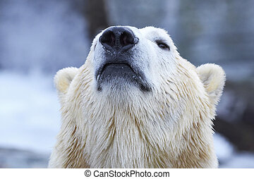 Polar Bear (Ursus maritimus) - Closeup portrait of the Polar...