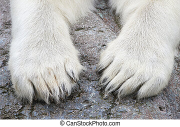 Paws of the Polar Bear (Ursus maritimus) - Closeup image of...