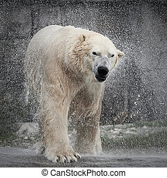Polar Bear (Ursus maritimus) - Wet Polar Bear shaking of the...