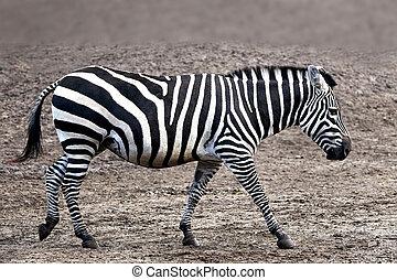 Grantrsquo;s Zebra Equus burchelli boehmi - Grant's Zebra...