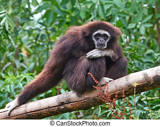 Lar gibbon Hylobates lar - Lar gibbon resting in its natural...