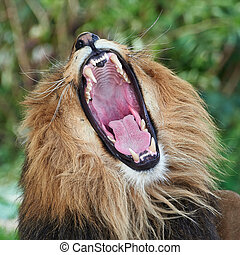 Lion Panthera leo - Closeup of the open mouth and teeth of a...