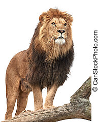 Lion Panthera leo - Lion standing on a old tree trunk...