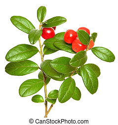 Cowberry (Vaccinium vitis idaea) plant isolated on white...