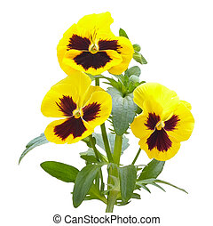 Viola flowers on white background - Yellow viola flowers...
