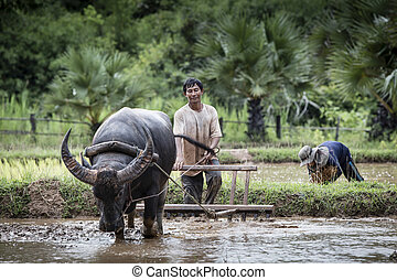 Asian farmer working with his buffalo