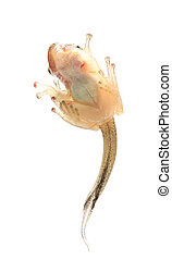 Tadpole in white background