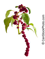Amaranthus isolated