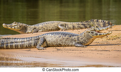 Yacare Caiman with open jaws on a sandbank in Brazilian...