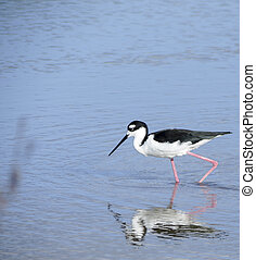 Black necked stilt - Black necked stilt, shore bird in the...