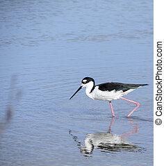 Black necked stilt. - Black necked stilt, shore bird in the...