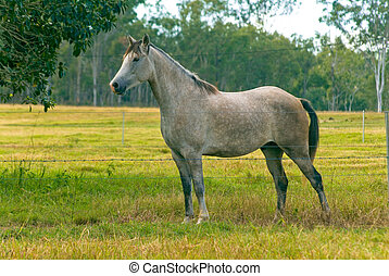 horse - grey horse standing and fenceline