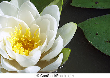 Water Lily - A macro shot of a water lily.