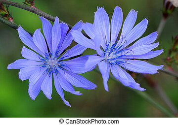 Cornflower or Centaurea cyanus
