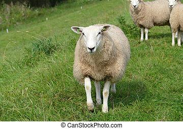 Sheep upfront on the dike - Schapen op de dijk langs de...