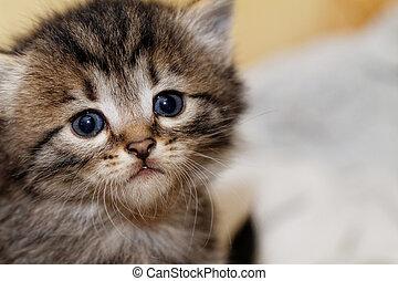 Cute kitten - Close up photo of a cute kitten with big blue...