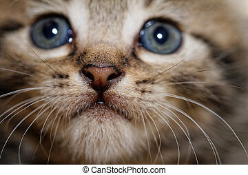 Cute kitten - Close up photo of a cute kitten with big blue...