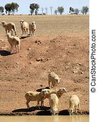 Sheep in Australia - Cattle of sheep in Australia