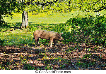 Pig on a meadow - Pig in the thicket green bushes. Mountain...