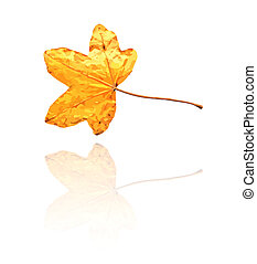 sweet gum leaf with yellow, orange colors, vector