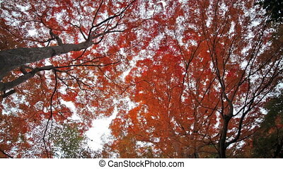 red japanese maple autumn fall , momiji tree in kyoto japan