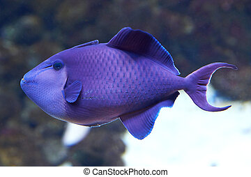 Blue Triggerfish (Pseudobalistes fuscus) - Blue Triggerfish...