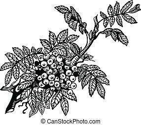 rowan - Branch of mountain ash, leaves and berries. Drawing.