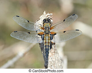 Four-spotted Chaser Libellula quadrimaculata - Four-spotted...