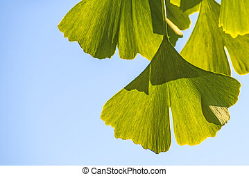 Ginkgo leaves at a tree