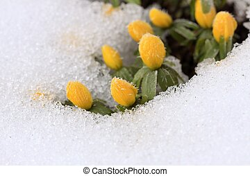 Beautiful Winter Aconite Eranthis hyemalis in snow - This...