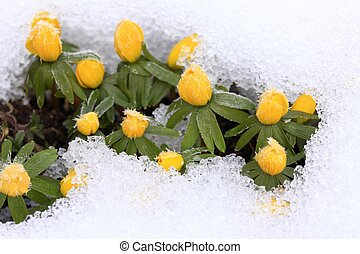 Winter Aconite Eranthis hyemalis in snow - Beautiful spring...