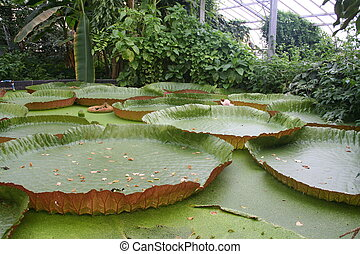 Victoria Amazonica Water Lily in a botanic garden greenhouse...