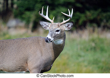 Whitetail deer - Portrait of a nice youg whitetail buck