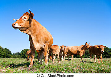 Limousin cows  - Limousin cows in the meadow